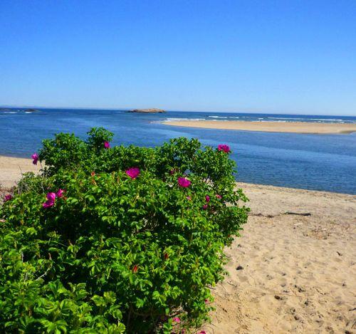 Popham_beach_roses_2